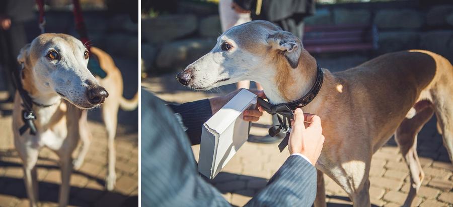 greyhound custom wedding dog collar downtown calgary elopement wedding photographer anna michalska