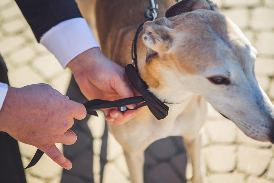 custom dog wedding collar downtown calgary elopement wedding photographer anna michalska
