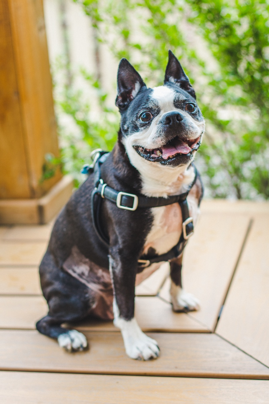 calgary pet photography boston terrier fish creek park
